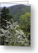 Mountainous Greeting Cards - Virginia Dogwood Greeting Card by Brendan Reals
