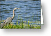 Great Blue Heron Digital Art Greeting Cards - Wading Heron Greeting Card by Julie Palencia