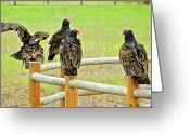 Buzzard Photo Greeting Cards - Waiting for Lunch Greeting Card by Liz Vernand