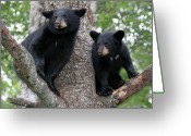 Black Bear Cubs Greeting Cards - Waiting For Mom Greeting Card by Gerry Sibell