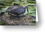 Lilly Pads Photo Greeting Cards - Waiting For The Arrival Greeting Card by Deborah Benoit