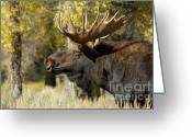 Moose Bull Greeting Cards - Waiting For The Challengers Greeting Card by Sandra Bronstein