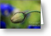 Dew Drop Greeting Cards - Waiting to Bloom Greeting Card by Darren Fisher