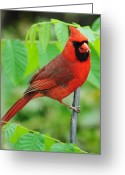 Cardinal Greeting Cards - Waiting to Feed Greeting Card by Robert Harmon