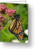 Swamp Milkweed Greeting Cards - Waiting to Flower Greeting Card by Steve Augustin