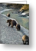 American Brown Bear Greeting Cards - Walking Home Greeting Card by Dora Miller