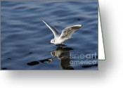 Lapwing Photo Greeting Cards - Walking on water Greeting Card by Michal Boubin