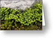 Crevice Greeting Cards - Wall-rue (asplenium Ruta-muraria) Greeting Card by Bob Gibbons