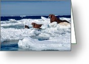 Walruses Greeting Cards - Walruses Greeting Card by Joseph Rychetnik