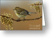 Bird Cards Greeting Cards - Warbler Greeting Card by Robert Frederick