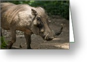 Henry Doorly Zoo Greeting Cards - Warthog At The Omaha Zoo Greeting Card by Joel Sartore