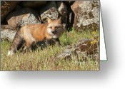 Vulpes Greeting Cards - Wary Red Fox Greeting Card by Sandra Bronstein