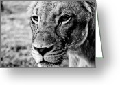 Big Cat Art Prints Greeting Cards - Watchful Eyes Greeting Card by Brian Benson
