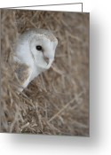 Hedge Greeting Cards - Watchfull Barn Owl Greeting Card by Andy Astbury