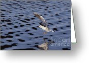 Lapwing Photo Greeting Cards - Water Alighting Greeting Card by Michal Boubin