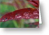 Fireweed Greeting Cards - Water Droplets On Red Fireweed Greeting Card by Rich Reid
