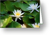 Dana Oliver Greeting Cards - Water Lilies Greeting Card by Dana  Oliver