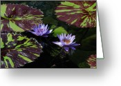 Lilly Pad Greeting Cards - Water Lillies Greeting Card by Nancy Chase