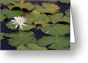 Lilly Pads Photo Greeting Cards - Water Lilly Greeting Card by Forest Alan Lee