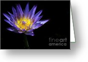 Water Gardens Greeting Cards - Water Lily in the Spotlight Greeting Card by Sabrina L Ryan