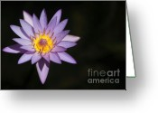 Water Gardens Greeting Cards - Water Lily in the Sunlight Greeting Card by Sabrina L Ryan