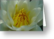 Lily Greeting Cards - Water Lily Greeting Card by Juergen Roth