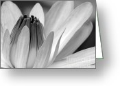 Florida Flowers Greeting Cards - Water Lily Opening Greeting Card by Sabrina L Ryan