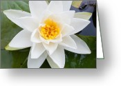 Knob Greeting Cards - Water Lily Greeting Card by Semmick Photo