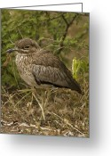 African Wildlife Greeting Cards - Water Thick-knee Greeting Card by Peter Chadwick