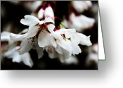 Trees Blossom Greeting Cards - Weeping Cherry Greeting Card by Toni Jackson