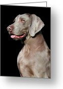 Dog Portrait Digital Art Greeting Cards - Weimaraner  Greeting Card by Julie L Hoddinott