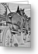 Carriage Team Greeting Cards - Weiser B-W Greeting Card by Lynda Dawson-Youngclaus