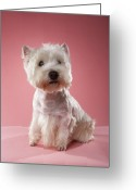 West Highland White Terrier Greeting Cards - West Highland Terrier Greeting Card by Chris Amaral