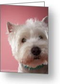 West Highland White Terrier Greeting Cards - West Highland Terrier, Close-up Greeting Card by Chris Amaral