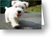 West Highland White Terrier Greeting Cards - West Highland Terrier Female. Greeting Card by Chris Cole