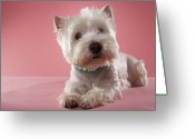 West Highland White Terrier Greeting Cards - West Highland Terrier Lying Down Greeting Card by Chris Amaral