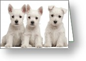 West Highland White Terrier Greeting Cards - West Highland Terrier Puppies (7 Weeks Old) Greeting Card by Life On White