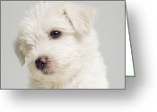 West Highland White Terrier Greeting Cards - West Highland Terrier Puppy Sitting In Studio, Close Up Greeting Card by Roger Wright
