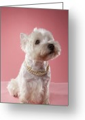 West Highland White Terrier Greeting Cards - West Highland Terrier Wearing Pearl Necklace Greeting Card by Chris Amaral