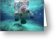 Swimming Photo Greeting Cards - West Indian Manatees Greeting Card by James R.D. Scott