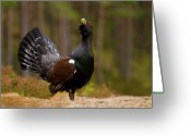 Birdwatcher Greeting Cards - Western Capercaillie Tetrao urogallus Greeting Card by Gabor Pozsgai