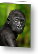 Lowland Greeting Cards - Western Lowland Gorilla Baby Greeting Card by Julie L Hoddinott