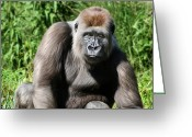Lowland Greeting Cards - Western Lowland Gorilla Female Greeting Card by Julie L Hoddinott