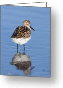 Sandpiper Greeting Cards - Western Sandpiper Portrait Greeting Card by Tim Grams