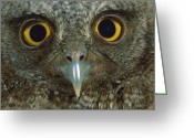 Owl Photography Greeting Cards - Western Screech Owl Otus Kennicottii Greeting Card by Christian Ziegler