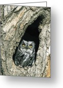 Owl Photography Greeting Cards - Western Screech Owl Otus Kennicottii Greeting Card by Konrad Wothe