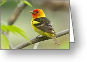 Western Pyrography Greeting Cards - Western Tanager in the Marsh Greeting Card by Steve Large