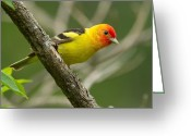 Western Pyrography Greeting Cards - Western Tanager Greeting Card by Steve Large