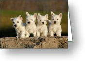 Four Animals Greeting Cards - Westies On The Rock Greeting Card by Celso Mollo Photography