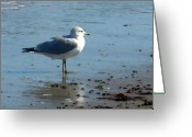 Sea Birds Greeting Cards - Wet Feet Greeting Card by Paul Sachtleben